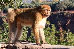 Makak nahe Ouzoud-Kaskade Lizenzfreie Stockbilder