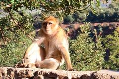 Makak perto da cascata de Ouzoud Imagens de Stock Royalty Free