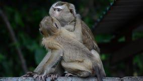 Makak pomaga inny małpiego czyścić pchły od futerka Zadziwiający zwierzęcy zachowanie zbiory