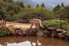 Makak stawem w Kyoto, Japonia - obrazy royalty free