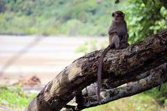 Makaka obsiadanie na drzewie Fotografia Royalty Free