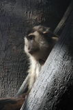makaka pigtail Obrazy Stock
