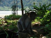 Makakaap in regenwoud van Borneo stock foto's