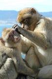 Makaken äfft das Pflegen auf dem Felsen von Gibraltar nach Stockbild