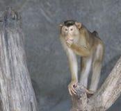 Makaken lizenzfreies stockfoto