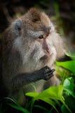 Makaken-Affe. Lizenzfreie Stockfotografie