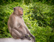 Makaken-Affe Stockbild