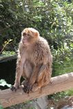 Makaken-Affe auf einem Baum-Stamm Stockfoto