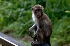 Makaken-Affe, Baco, Borneo, Malaysia Stockfotografie