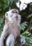 Makaken-Affe an Batu-Höhlen, Kuala Lumpur Lizenzfreie Stockfotos
