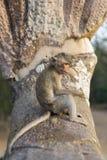 Makaken-Affe, der auf alten Ruinen von Angkor, Kambodscha isst Lizenzfreie Stockbilder