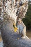 Makaken-Affe, der auf alten Ruinen von Angkor, Kambodscha sitzt Lizenzfreies Stockbild
