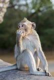 Makaken-Affe, der auf alten Ruinen von Angkor, Kambodscha sitzt Lizenzfreies Stockfoto