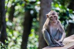 Makaken/Affe, der auf dem Zaun sitzt Stockfotografie