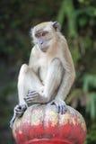 Makaken-Affe, der auf die Oberseite sitzt Lizenzfreie Stockfotografie