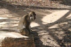 Makaken-Affe, der auf einem Felsen sitzt Stockfotografie