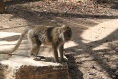Makaken-Affe, der auf einen Felsen geht Lizenzfreies Stockbild