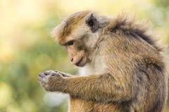 Makaken-Affe, der auf einer Wand, Kandy, Sri Lanka sitzt Stockfoto
