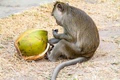 Makaken-Affe, der eine Kokosnuss mit den klebrigen Fingern isst! Lizenzfreie Stockfotografie