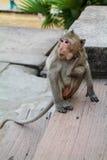 Makaken-Affe, der sein Gesicht mit seinem Bein verkratzt Lizenzfreies Stockbild