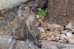 Makaken-Affe des langen Schwanzes Lizenzfreies Stockbild