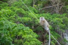 Makaken-Affe des langen Schwanzes Lizenzfreie Stockfotografie