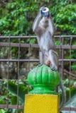 Makaken-Affe mit Kram Batu höhlt in Kuala Lumpur, Malaysia, A aus Lizenzfreie Stockfotografie
