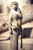 Makaken-Affe-Sitzen Stockfoto