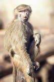 Makaken-Affe-Sitzen Lizenzfreie Stockfotografie