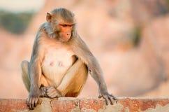 Makaken am Affe-Tempel, Jaipur Stockfotos