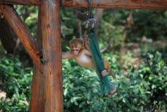 Makaken-Affen Lizenzfreies Stockfoto
