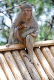 Makaken-Affen Stockfotos