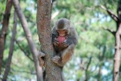 Makaken-Affen Stockfoto