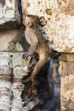 Makaken-Affen, die auf alten Ruinen von Angkor, Kambodscha essen Stockbild