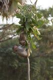 Makaken-Affen, die in den Ruinen von Angkor, Kambodscha spielen Stockbild