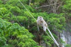 Makaken-Affewild lebende tiere des langen Schwanzes im Wald bei Krabi Stockfotos