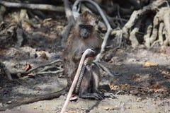 Makaken in den Baumstümpfen, spielend mit einem Seil Stockfotos