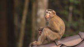 Makaken, der auf Dach sitzt Lizenzfreie Stockfotos