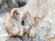 Makaken, der auf den Felsen sitzt Stockfotos