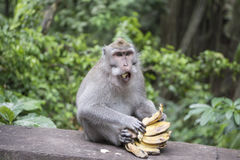 Makaken, der Banane isst Stockbild