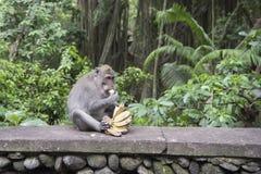 Makaken, der Banane isst Lizenzfreie Stockfotografie