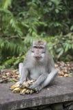 Makaken, der Banane isst Stockfotografie
