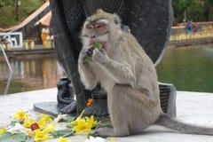 Makaken, der Blätter leckt Stockfotos