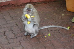 Makaken, der eine Banane isst Lizenzfreie Stockbilder