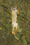 Makaken, der einen Baum klettert Lizenzfreies Stockbild
