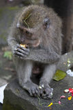 Makaken, der einen Keks isst Lizenzfreie Stockfotografie