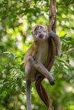 Makaken, der an einer Liane hängt Lizenzfreies Stockbild