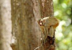 Makaken, der Gesichter macht Stockfotos