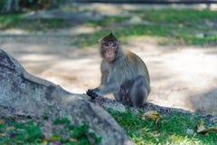 Makaken, der Lebensmittel isst Stockbild