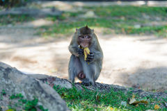 Makaken, der Lebensmittel isst Stockfotografie